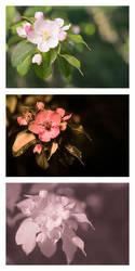 Malus sylvestris (European Crabapple) Vis UV IR by DavidKennard