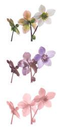 Helleborus-niger-Vis-UV-IR-comparison by DavidKennard