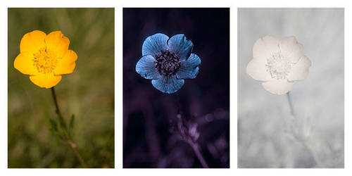 Ranunculus bulbosus (Bulbous buttercup) Vis UV IR by DavidKennard