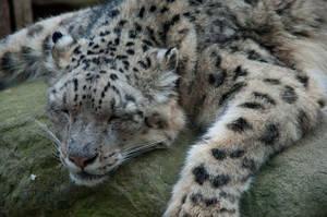 Sleeping Irbis by jbem