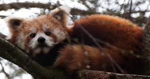 Red Panda by jbem