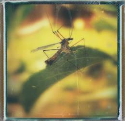 Tipula by JillAuville