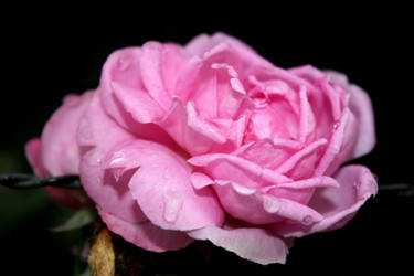 Pink and Wet No.1 by gat0pard0-x0x