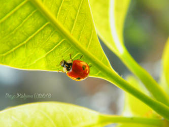 ladybug2 by petyaivanova