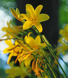 Yellow Lily by TheBug