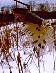 Milkweed by bonesandbutterflies