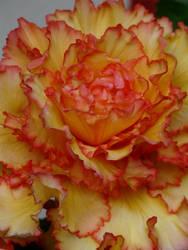 flower VII by zyrafa