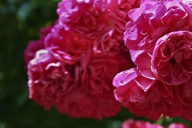 Dark Pink Flower by Hrasulee
