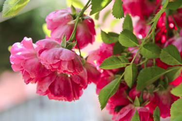 Rose by Hrasulee