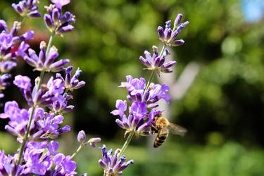 Bee and Lavender by Hrasulee