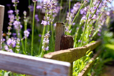 Our little Lavender Garden by Hrasulee