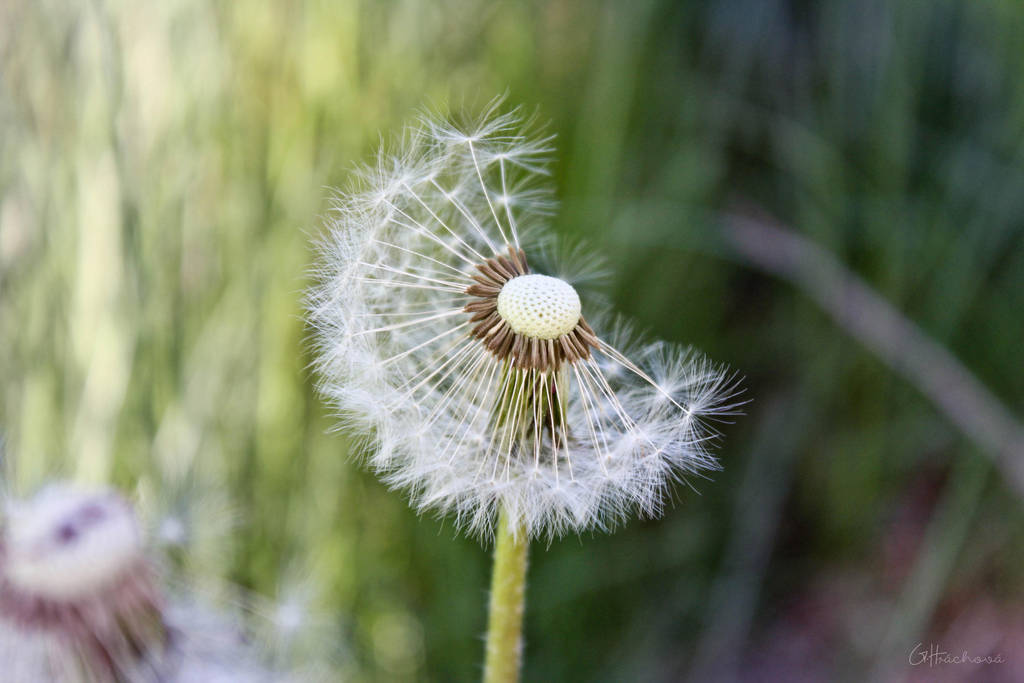 A Dandelion by Hrasulee
