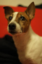 Jack russel by evulition