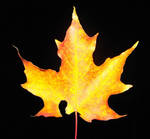 Maple Leaf by Vamaena