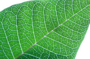 Pointcetta Leaf by Vamaena
