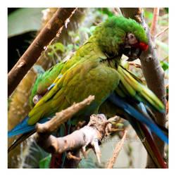 Military Macaws by Vamaena