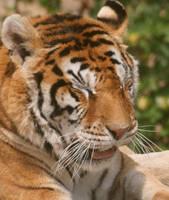 Tiger by IshtaSankura