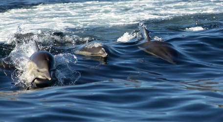 Common Dolphins surfing by orcamistress101