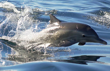 Common Dolphin- Leap by orcamistress101