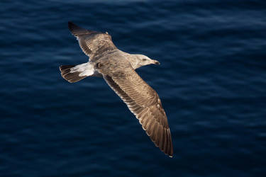 Seagull In Flight by orcamistress101