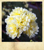 Lady Banksia Rose by Lucidical