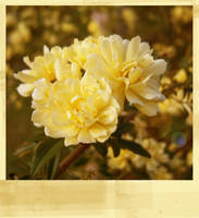 Lady Banksia Rose II by Lucidical