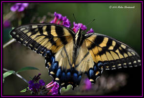Tiger Swallowtail by aperfectmjk