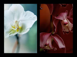 ..orchids.. by lotusleaf