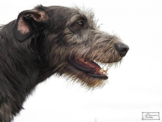 Irish Wolfhound by LonelyWolf85