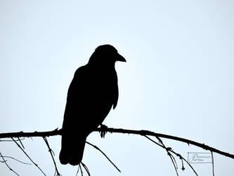 Crow by LonelyWolf85