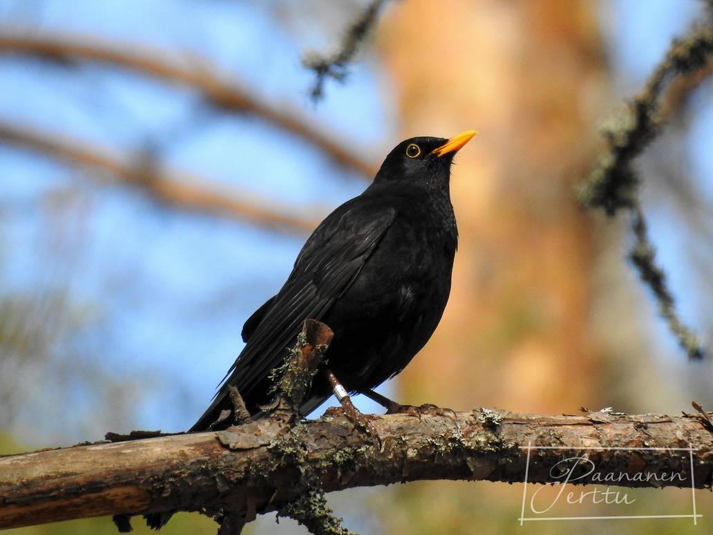 Blackbird by LonelyWolf85