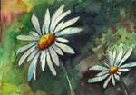 Daisies by Medhi
