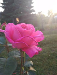 Pink by HebanART