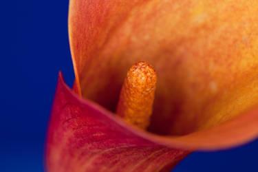 Orange Flower Macro 1 by AaronPlotkinPhoto