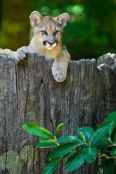 Curious Cougar by xthumbtakx