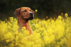 Yellow field by Polciak