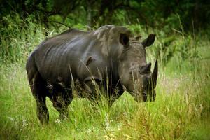 White rhino by MarianGutu