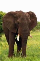 Elephant standing by MarianGutu
