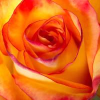 Rose by MarianGutu