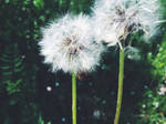 Dandelion dreams by m-the-ninja
