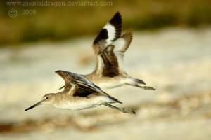 Willets in Flight by mentaldragon