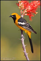 Hooded Oriole by juddpatterson