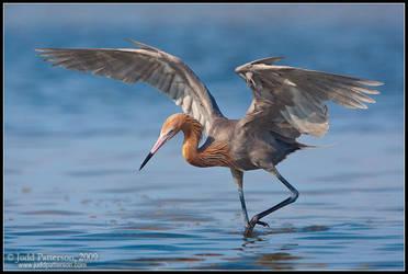 Dancing Reddish Egret by juddpatterson