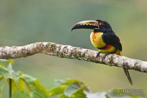 Collared Aracari by juddpatterson