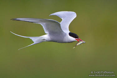 Arctic Tern by juddpatterson