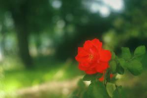 Red rose in the green garden by leoatelier