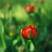 Red flower in a green field by leoatelier