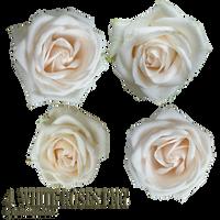 white roses PNG by EveBlackwoodStock
