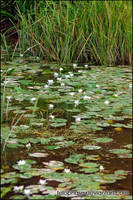 Water lilies by telophase