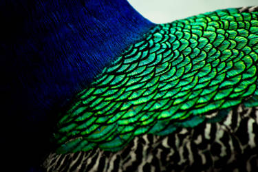 Peacock by HalfBloodPrince71